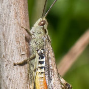 Field Grasshopper (Chorthippus brunneus) male