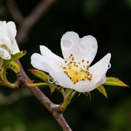 Field Rose (Rosa arvensis)