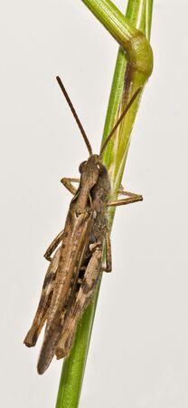 Field Grasshopper (Chorthippus brunneus) female