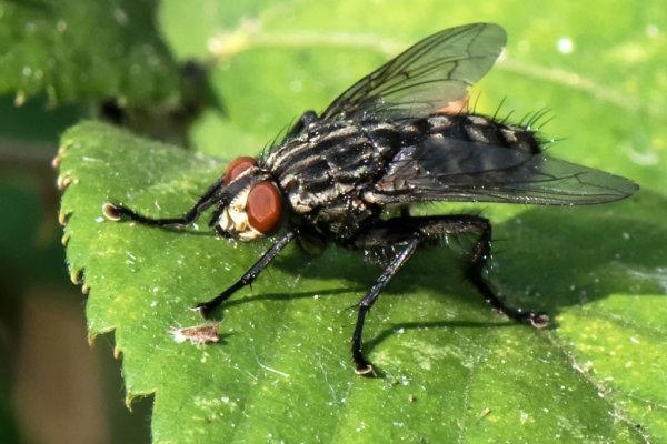 Flesh Fly (Sarcophaga-carnaria)