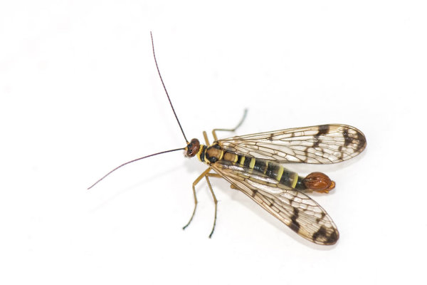Scorpion Fly )Panorpa germanica)
