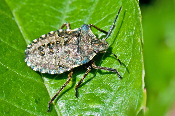 Forest bug )in final nymph stage)