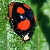 4 spot harlequin ladybird