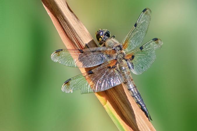 Four-spotted chaser (Libellula quadrimaculata) female