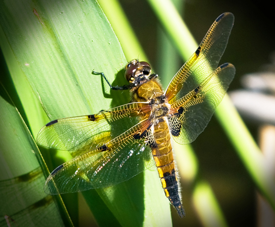 Four-spotted chaser (Libellula quadrimaculata) male
