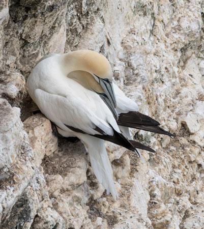 Gannets-(Morus-bassannus)