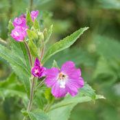 Great Willow Herb (Epilobium hirsutum)