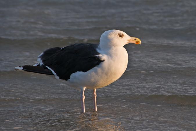 Great Black Back Gull (larus marinus)