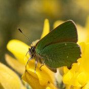 Green Hairstreak (Callophrys-rubi)