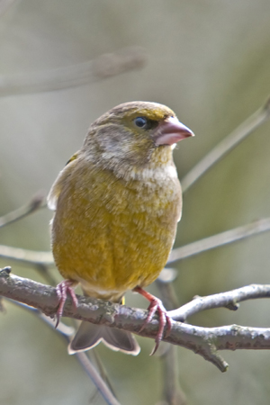 Greenfinch  (Carduelis chioris) (male)
