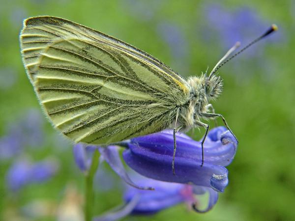 Green veined white (Pieris napi)