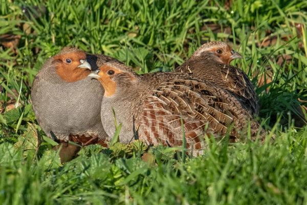 Grey Partridge (Pardix-pardix)