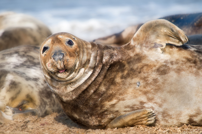 Grey Seal (Halichoerus grypus Phocidae