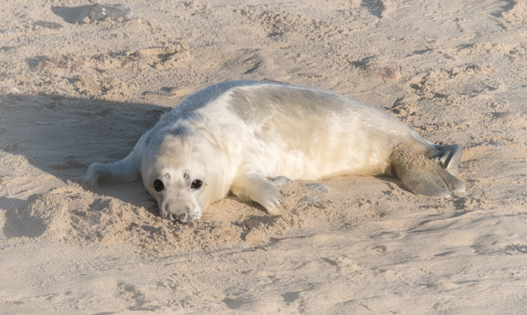 Grey Seal Pup (Halichoerus grypus Phocidae)