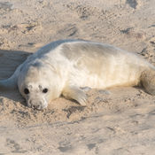 Grey Seal Pup (Halichoerus grypus Phocidae)