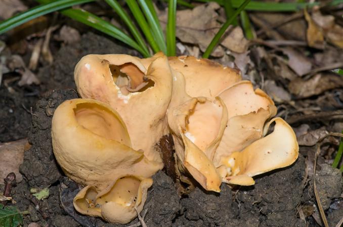 Hare's Earl Fungus (Otidea onotica)
