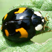 Harlequin ladybird (black with orange spots)