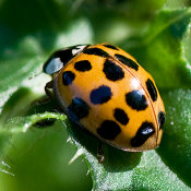 Harlequin ladybird (yellow with black spots)