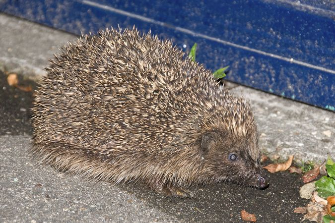 Hedgehog (Erinaceus europaeaus Erinacidae)