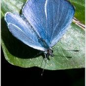 Holly Blue (Celastrina argiolus)