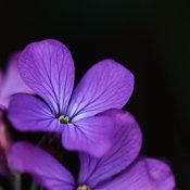 Honesty (Lunaria annua)
