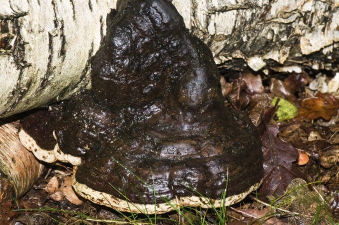 Hoof Fungus - Tinder Bracket (Fomes fomentarius)