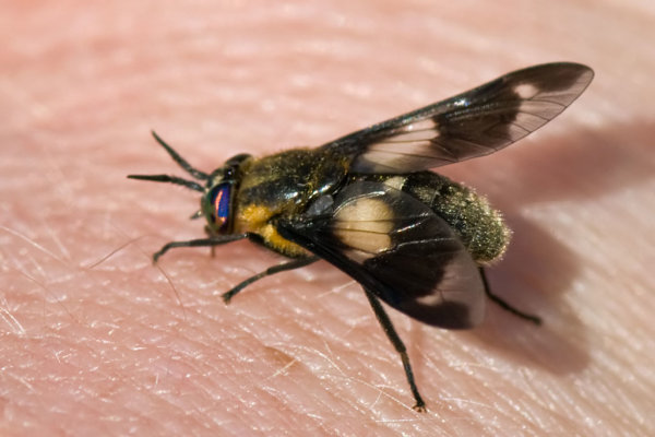 Horse Fly (Chrysops caecutiens)
