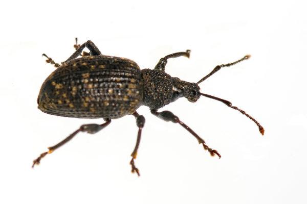 Weevil (Hylobius piceus)