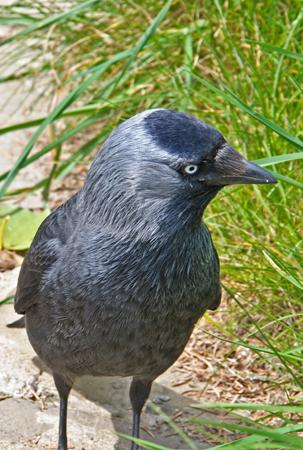 Jackdaw (Corvus moneduia)