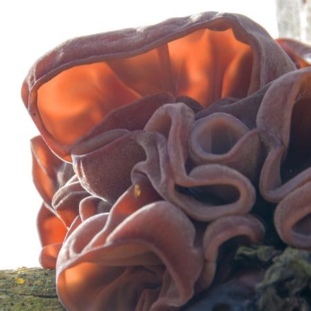 Jelly Ear fungi (Auricularia auricula -judae)