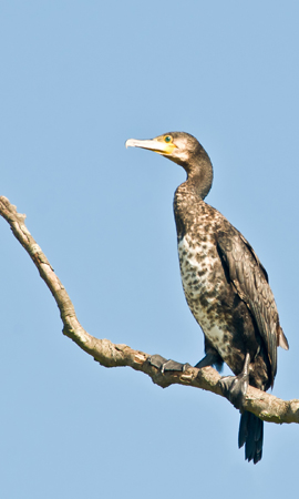 Cormerant (Phaiacrocorax carbo) Juvenielle