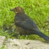 Blackbird (Turdus meruia) Juvenile