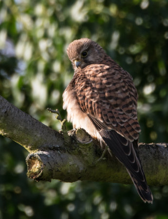 Kestrel (Falco tinnunculus) female