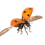 Ladybird in flight 1