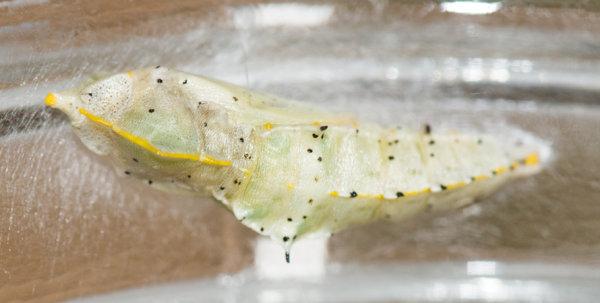 Large White (Pieris brassicae) chrysalis