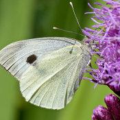 Large white (Pieris brassicae)female