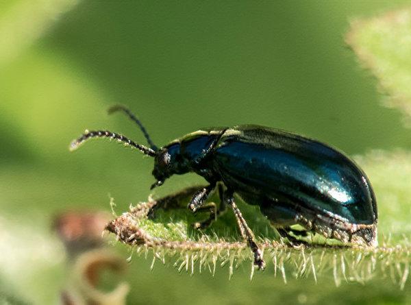 Leaf Beetle (Altica tythri)