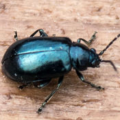 Leaf Beetle (Altica tythri)