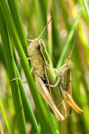 Lesser Marsh Grasshopper (Chorthippus albomarginatus) male and female