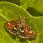 Lesser Broad-borderedn Yellow Underwing