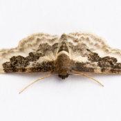 Lesser Carpet (Idaea rusticata atrosignaria)