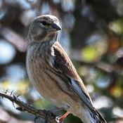 Linnet-(Carduelis-cannabina)-female