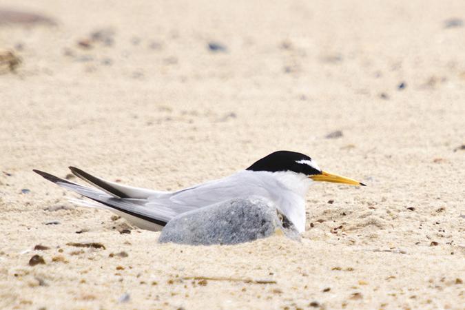 Little Tern (Sterna albifrons)