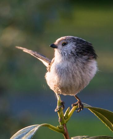 Long-tail Tit (Aegithaios caudatus)
