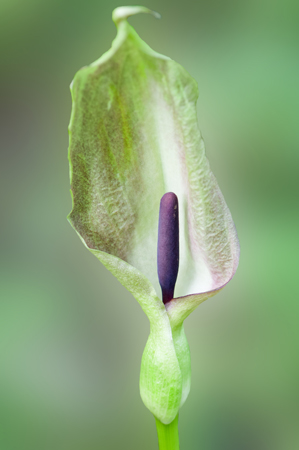 Lords and Ladies (Arum maculatum)