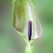 Lords and Ladies (Arum maculatum)