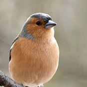 Chaffinch (Fringilla coeibs) male