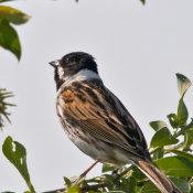 Reed Bunting (Emberiza schoencius) male