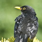 Blackbird (Turdus meruia) Male