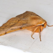 Male feathered thorn